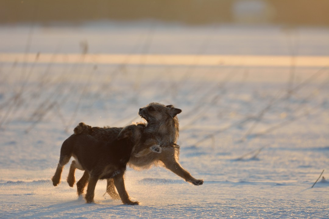 Auringonvalossa jäällä oli hyvä leikkiä. Pentu lempileikissään, eli hyökkäämässä Pipon kimppuun.