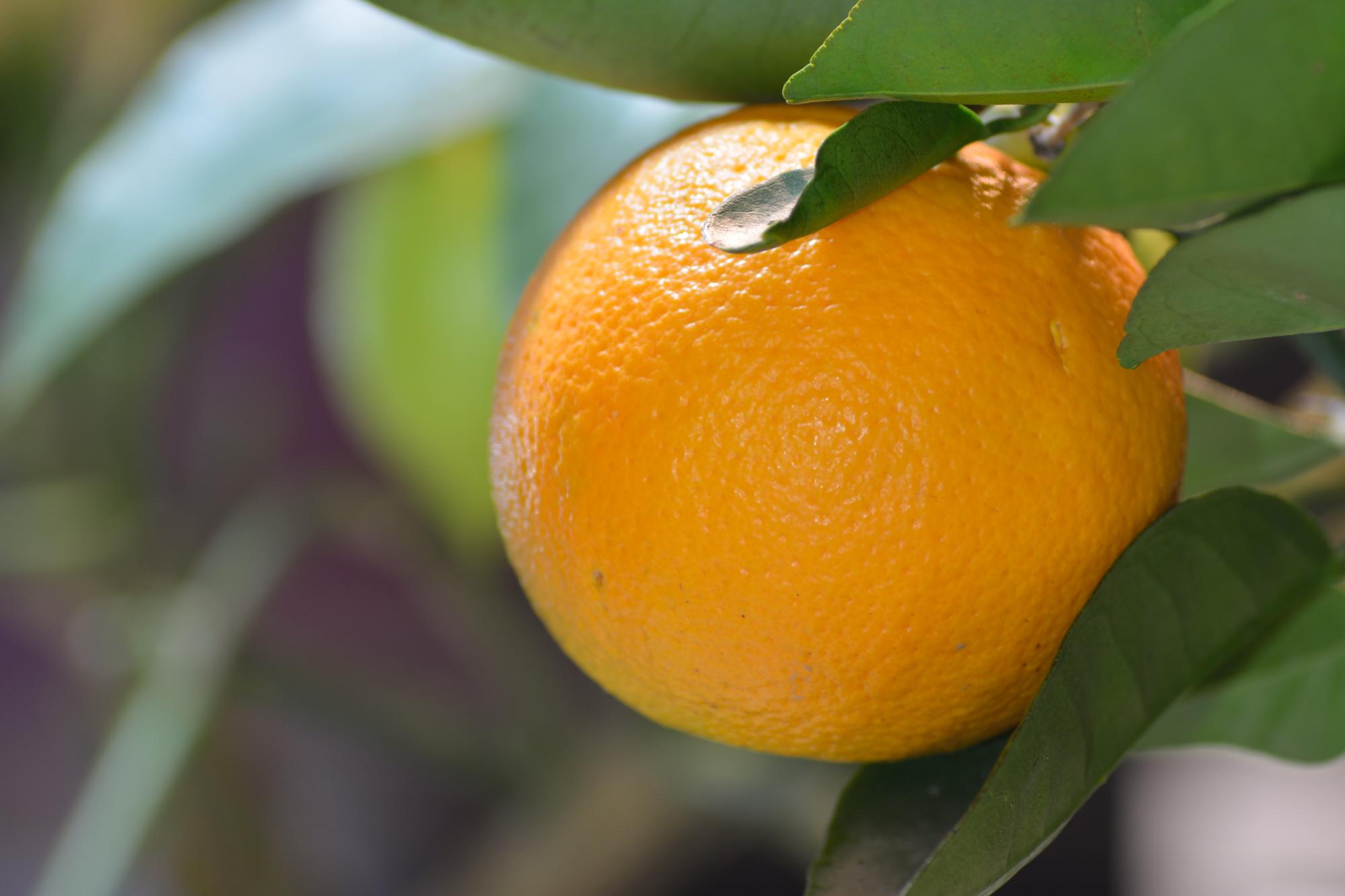 Appelsiinipuu on uusin tulokas putarhassa!