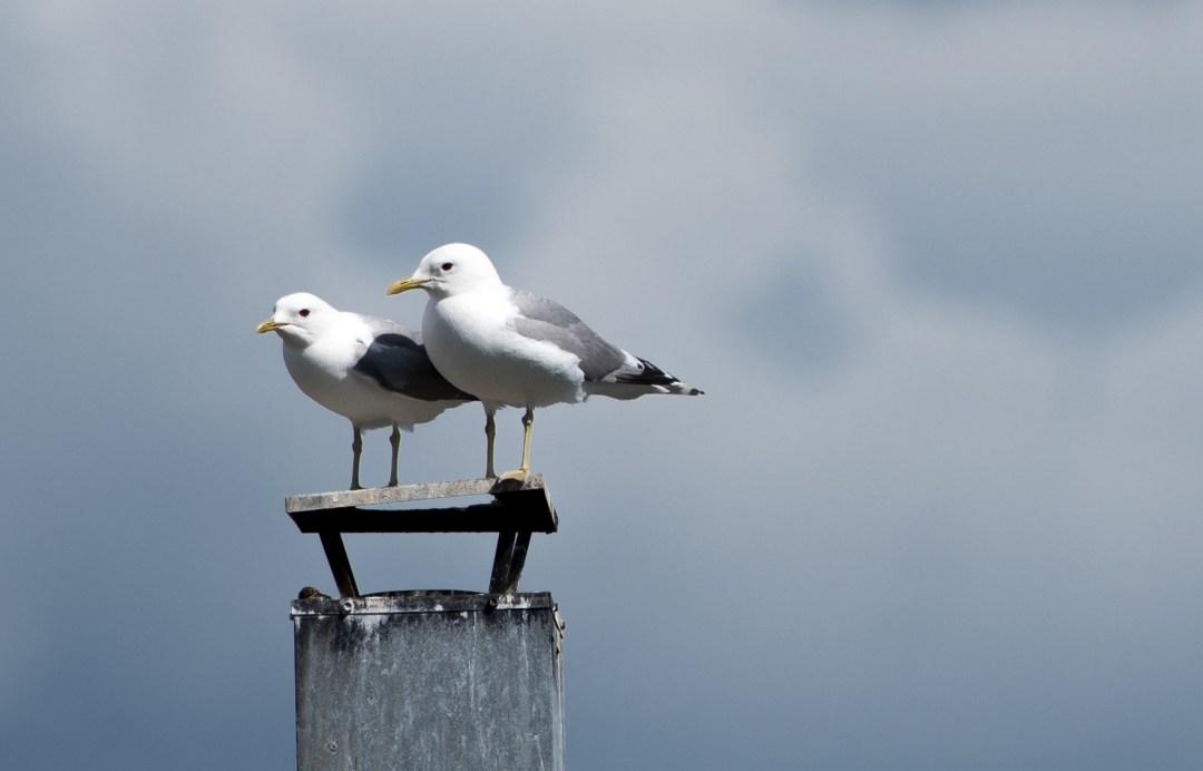 Normiloki vartioivat tarkasti poikasten lentokoulua.