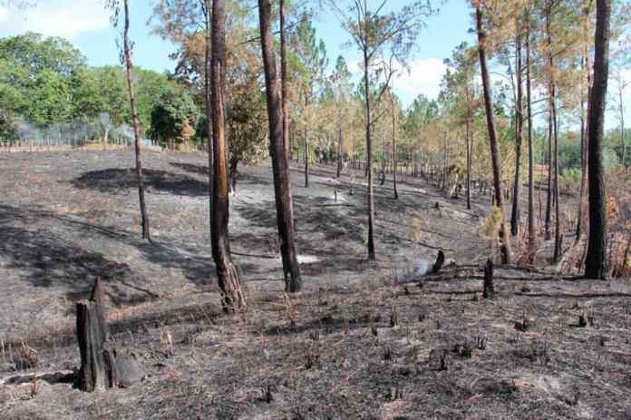 Denuncian contrabandistas haitianos y dominicanos queman miles de tareas cultivadas de pino en Santiago Rodríguez.