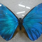 Thumb - vlinder