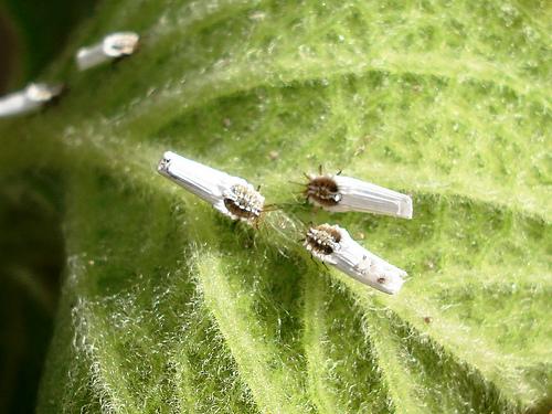 Cochonilha Orthezia praelonga