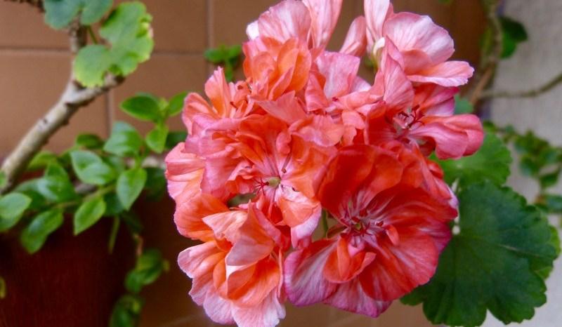 Gerânios (Pelargonium Hortorum)