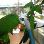 Polinização de Flores de Pimenta