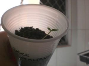 Plantei duas sementes, mas só uma germinou depois de 12 dias
