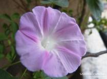 Ipomeia - Ipomoea Purpurea