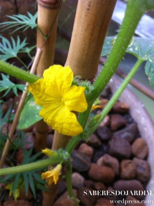 Horta - Pepino mexicano