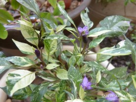 Pimenta variegata