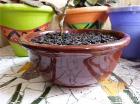 Bonchi - Bonsai de Pimenta