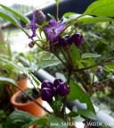 Frutos e flores da pérola roxa