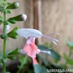 Sálvia Coral (Salvia Coccinea)