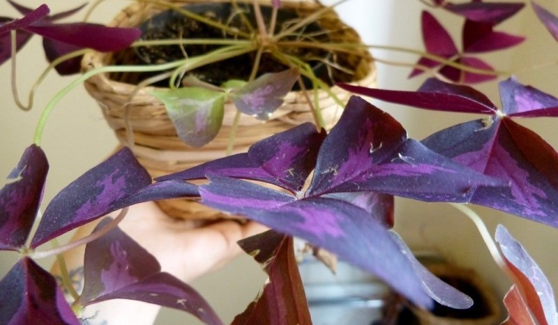 Trevo Roxo (Oxalis regnellii atropurpurea)