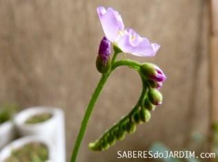 Plantas Carnívoras - Floração da Drosera Capensis
