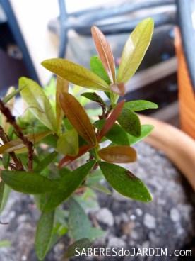 Mini cereja após Esterco