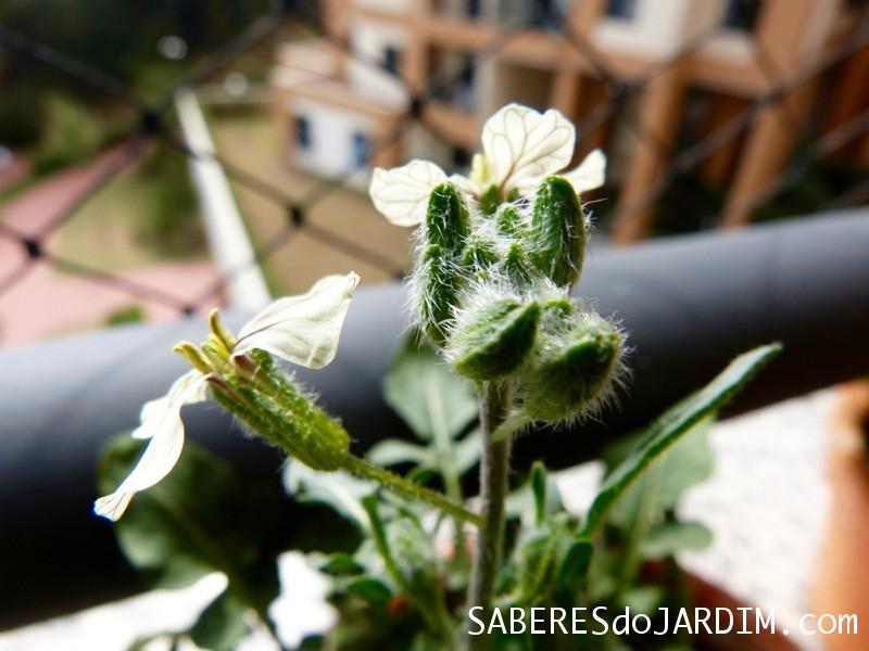 Flores da Rúcula
