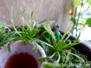 Plantas Carnívoras - Drosera capensis