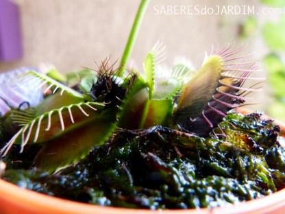 Dormência da Dionaea Muscipula