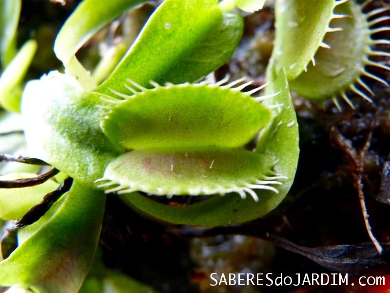 Armadilha da Dionaea Muscipula