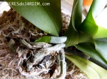Raízes Saudáveis de Orquídea