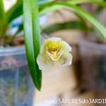 Orquídea Koellensteinia Graminea