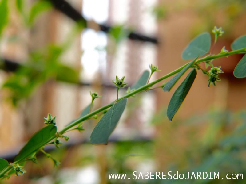 Quebra-Pedra - Phyllanthus Tenellus
