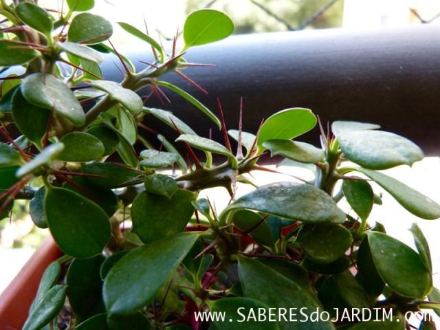 Euphorbia - Coroa de Cristo