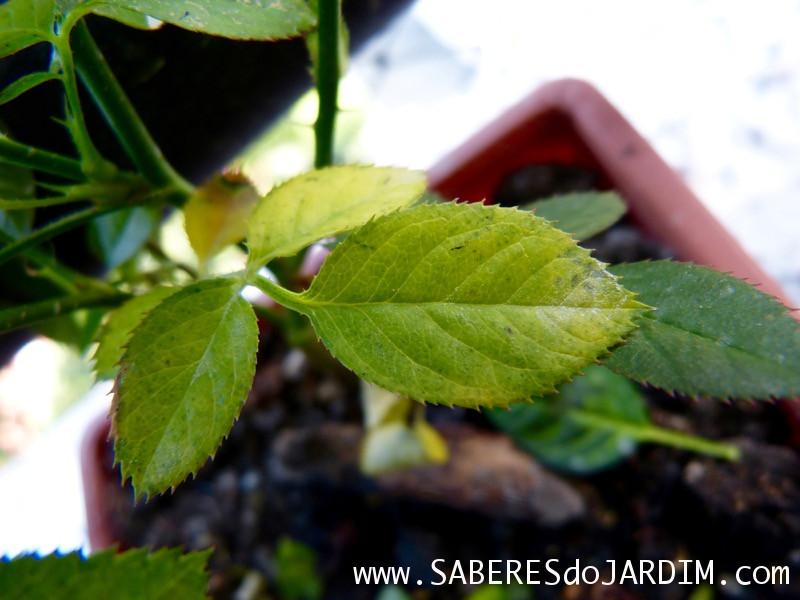 Mini Rosas - Rosa Chinensis - Fungos