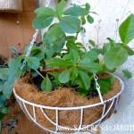 Beldroegão (Talinum Paniculatum)