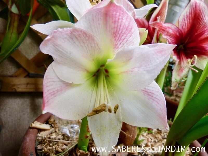 Amarilis Apple Blossom - Hippeastrum hybridum