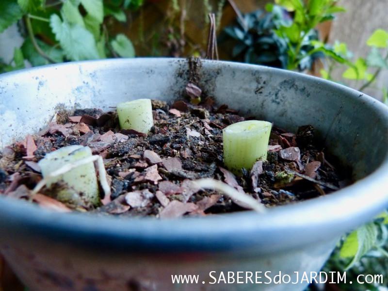 Como Plantar Cebolinha