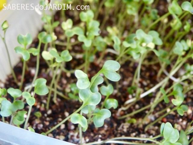 Microverdes - Microgreens
