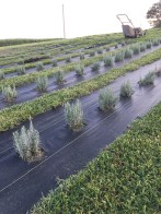 This field is home to Hidcote and Munstead lavender varieties.