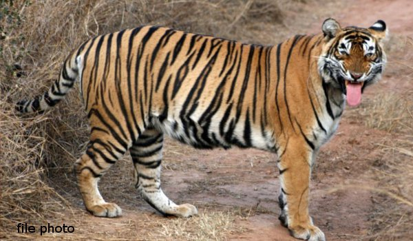No clue of the missing Sariska tigress, search on