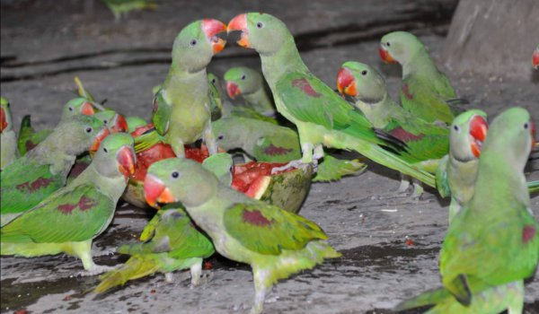 Three smugglers arrested with  285 parrots in Lucknow