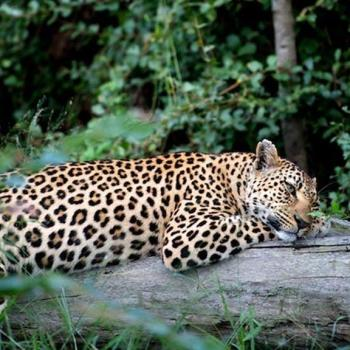 Singita Boulders Lodge Accommodation Activities Leopard