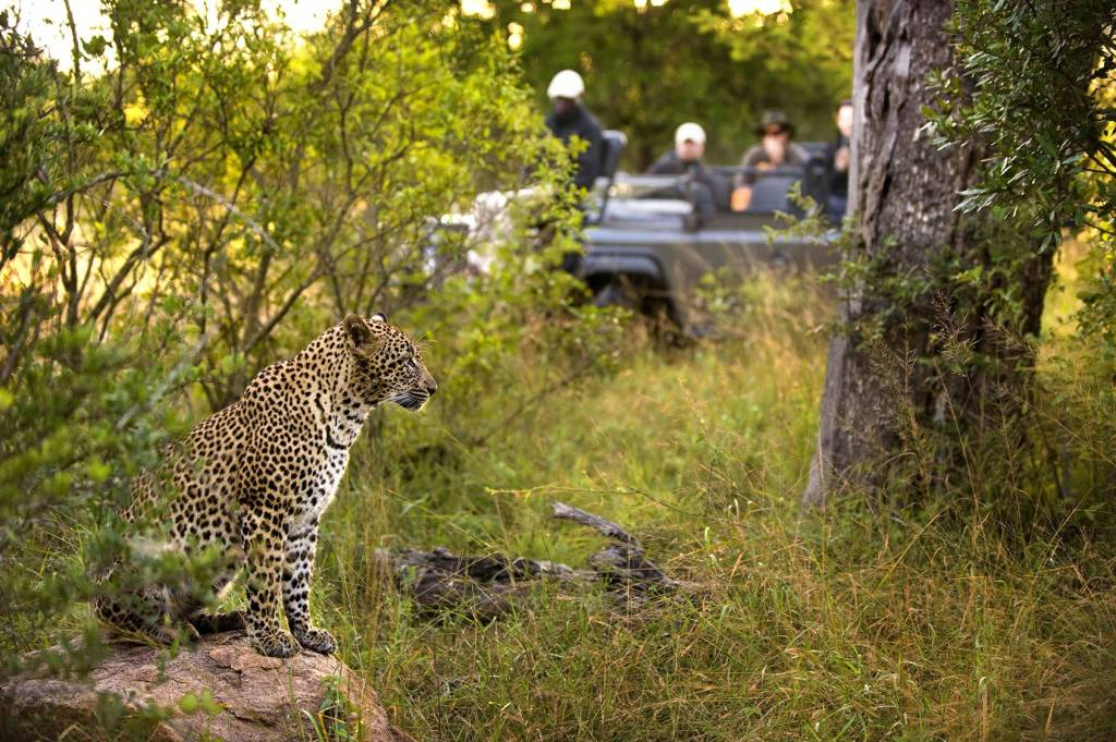 Narina Lodge Leopard Looking