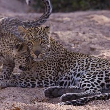 Nkorho Bush Lodge Accommodation Activities Mother and Cub
