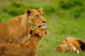 Inyati Game Lodge Lioness and Cubs