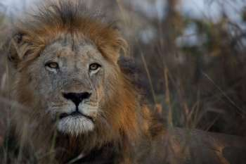 Londolozi Varty Camp Male Lion