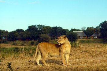 MalaMala Main Camp Lion Visit