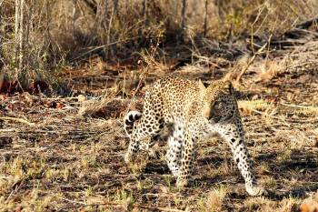 Tydon Safari Camp Leopard Hunting