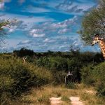 Lion Sands Treehouses Giraffe Nature