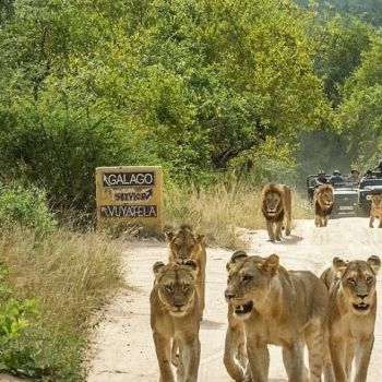 Djuma Vuyatela Lodge Lions Spotted On Game Drive