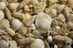 BUNAKEN, paradise of foraminifera.
