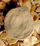 Foraminifera PHILIPPINES.
