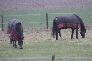 Horses with coats