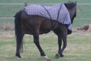 Horse with jacket askew