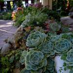 Hardy Drought Tolerant Succulents Are Colorful Alternatives In Gardens The Sacramento Bee