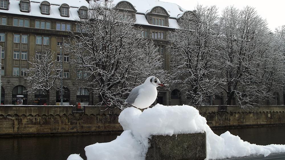 Swiss seagull