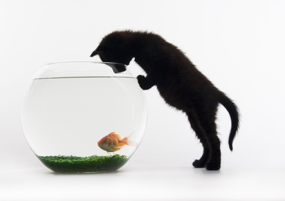 Black cat & Gold fish © Sebastian Duda #3826137